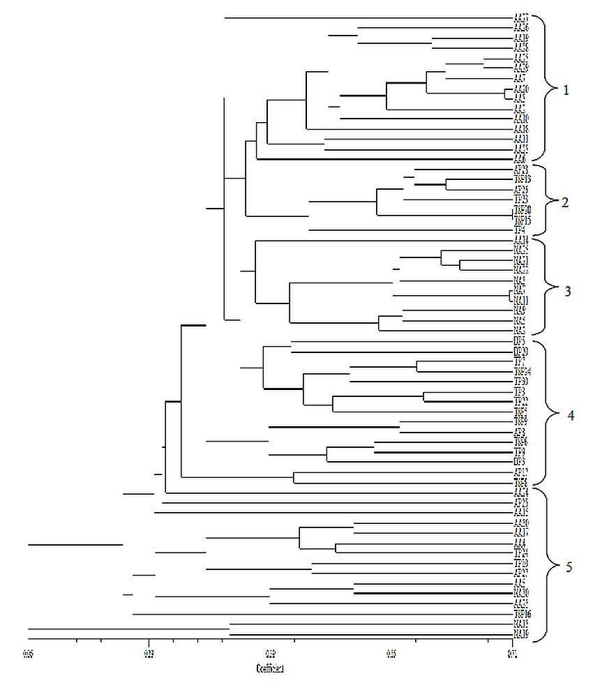 Figure 2: Dendogram of 62 high yielding accessions of Labisia pumila varieties. The designations refer to accessions listed in Table 2.