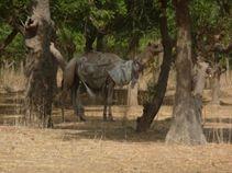 Photo 2: Le dromadaire, un moyen de transport typique aux nomades sahélo-sahariens.