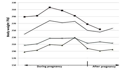 Figure 2: Bodyweight of Bali cow from early pregnancy, during pregnancy and following parturition.